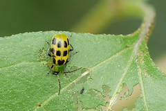 flower(0.0), arthropod(1.0), animal(1.0), ladybird(1.0), leaf(1.0), yellow(1.0), invertebrate(1.0), insect(1.0), macro photography(1.0), green(1.0), fauna(1.0), close-up(1.0), leaf beetle(1.0), beetle(1.0),