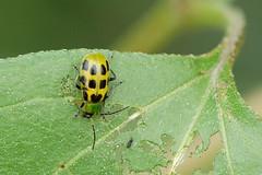 arthropod, animal, ladybird, leaf, yellow, invertebrate, insect, macro photography, green, fauna, close-up, leaf beetle, beetle,