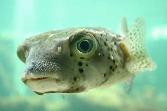 Puffer fish 1 flickr photo sharing for Puffer fish florida