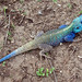Black-necked Agama - Photo (c) David Bygott, some rights reserved (CC BY-NC-SA)