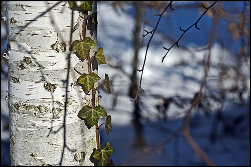 birch beauty