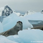 Leopard Seals Hanging Out - Fish Islands, Antarctica