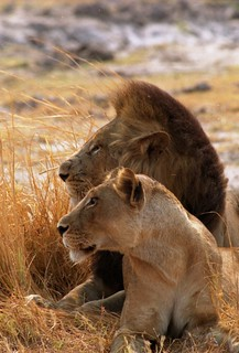 Zambian lions watching cyclist