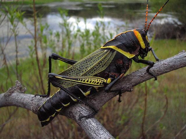 U.s. Grasshoppers Taeniopoda eques | Fli...