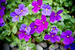 annual plant, flower, purple, plant, wildflower, flora, hesperis matronalis, aubrieta, petal,
