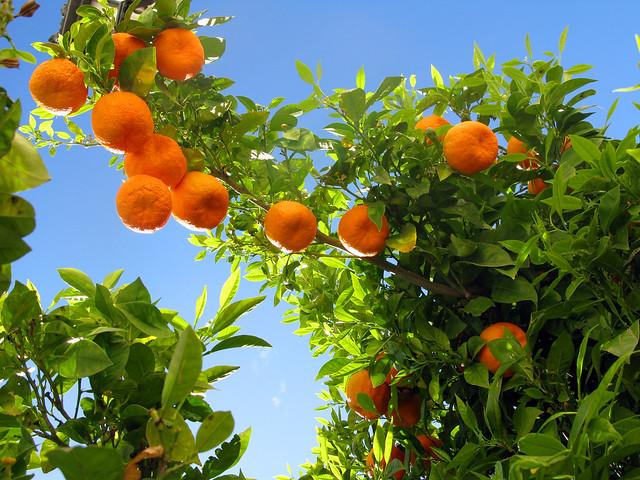 Ronda 08 Orange Tree