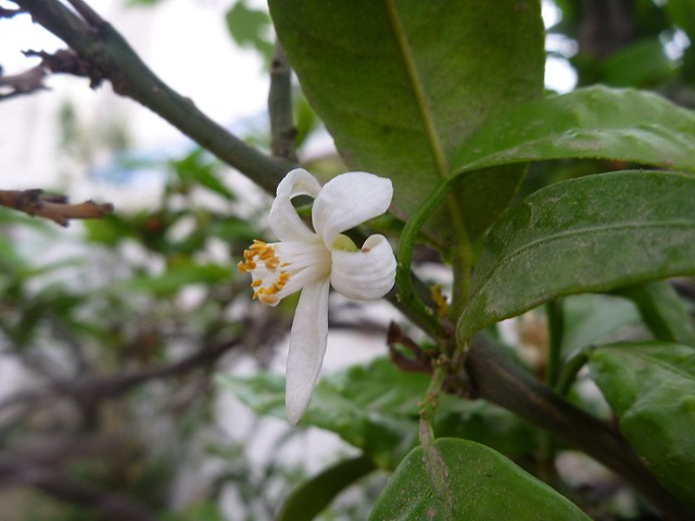 An orange fruit flower | Flickr - Photo Sharing!