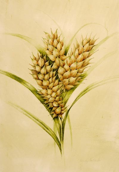 Carex lurida by Wendy Hollender,  2007  Colored pencil and watercolor on Fabriano hot press, 18 × 12 in. © Copyright Brooklyn Botanic Garden