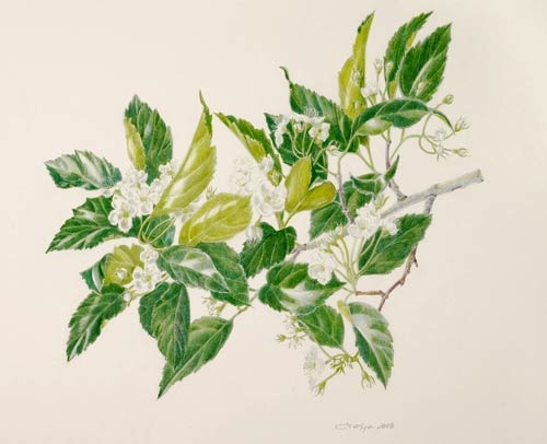 Crataegus × nitida,