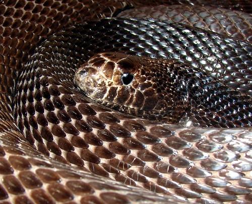 EcoSnake » Black pine snake (Pituophis melanoleucus lodingi)