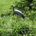 Demoiselle Crane (Anthropoides virgo) - London Wetland Centre.
