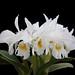 Cattleya labiata alba Angerer - 1