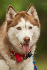 alaskan klee kai(0.0), saarloos wolfdog(0.0), dog breed(1.0), animal(1.0), west siberian laika(1.0), dog(1.0), siberian husky(1.0), pet(1.0), east siberian laika(1.0), tamaskan dog(1.0), greenland dog(1.0), northern inuit dog(1.0), native american indian dog(1.0), alaskan malamute(1.0), sled dog(1.0), carnivoran(1.0),