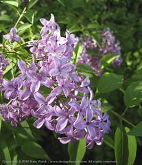 Lilac Branch 2