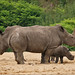 Mother and aunt give baby rhino protection