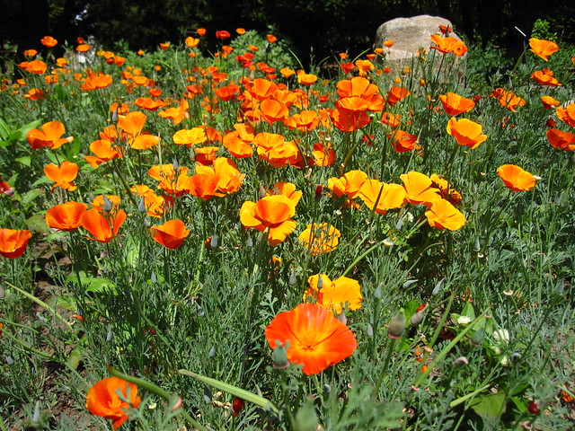 California poppy (Eschscholzia californica 'Mikado') blooms along the Rock Garden border. Photo by Rebecca Bullene.
