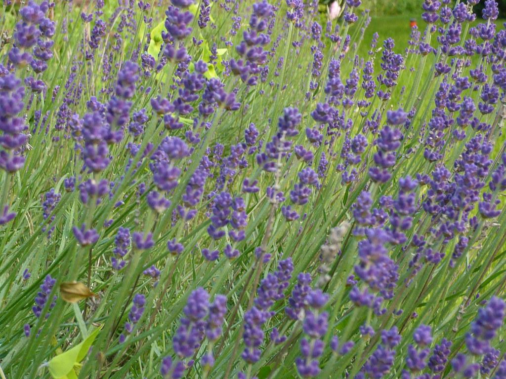 Image result for munstead lavender