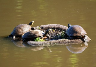 Three Turtles on a floating island