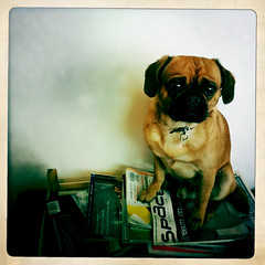 glasses(0.0), illustration(0.0), animal(1.0), puppy(1.0), dog(1.0), puggle(1.0), pet(1.0), mammal(1.0), pug(1.0),