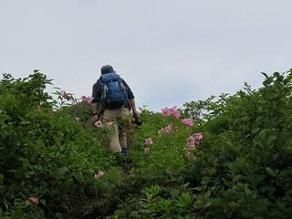 ヒメサユリ咲く登山道