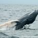 Playful Humpback Whale - Puerto Lopez, Ecuador