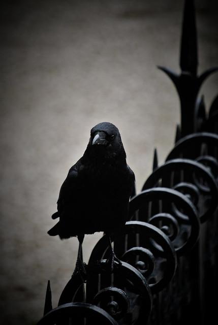 Evil crow - photo#2