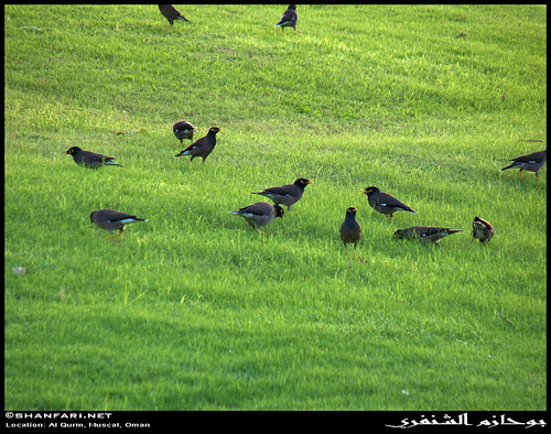 park trees plants plant green bird nature birds lumix al flora raw natural indian birding panasonic greenery lush common oman muscat fz ssp rw2 myna subsp acridotherestristis subspecies sultanate عمان tristis qurm طير مسقط سلطنة طيور acridotheres sturnidae الهندية القرم محافظة masqat هندية lumixaward مينة acridotherestrististristis fz38 الشائعة المينة fz35 dmcfz35 شائعة
