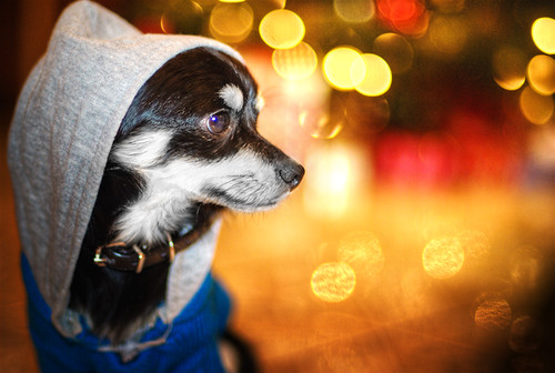 camera winter dog pet chihuahua cold sweater bokeh daughter shy orphan orphanage jordan kris hood jam adopted rescued kkg kros kriskros kkgallery
