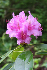 DeSoto State Park - Rhododendron