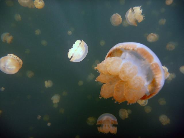 Medusas de el archipiélago de Chelbacheb, Islas Roca de Palaos, Micronesia