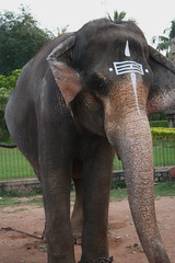 animal, indian elephant, elephant, zoo, elephants and mammoths, african elephant, fauna,