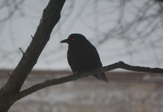 Evil crow - photo#23