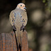 Mourning Dove on the fence