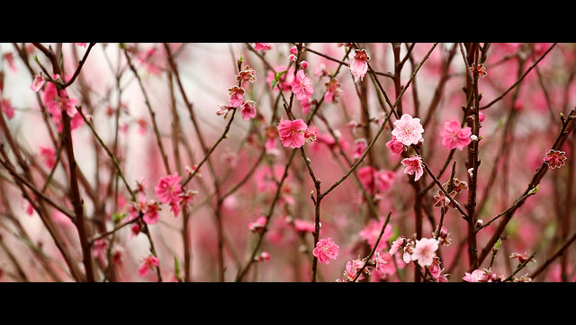 Chinese new year decoration flower peach blossom flickr - Flowers for chinese new year ...