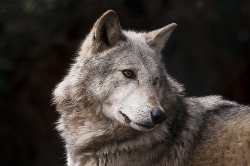 Grey Wolf (Canis lupus) by John C. Murphy