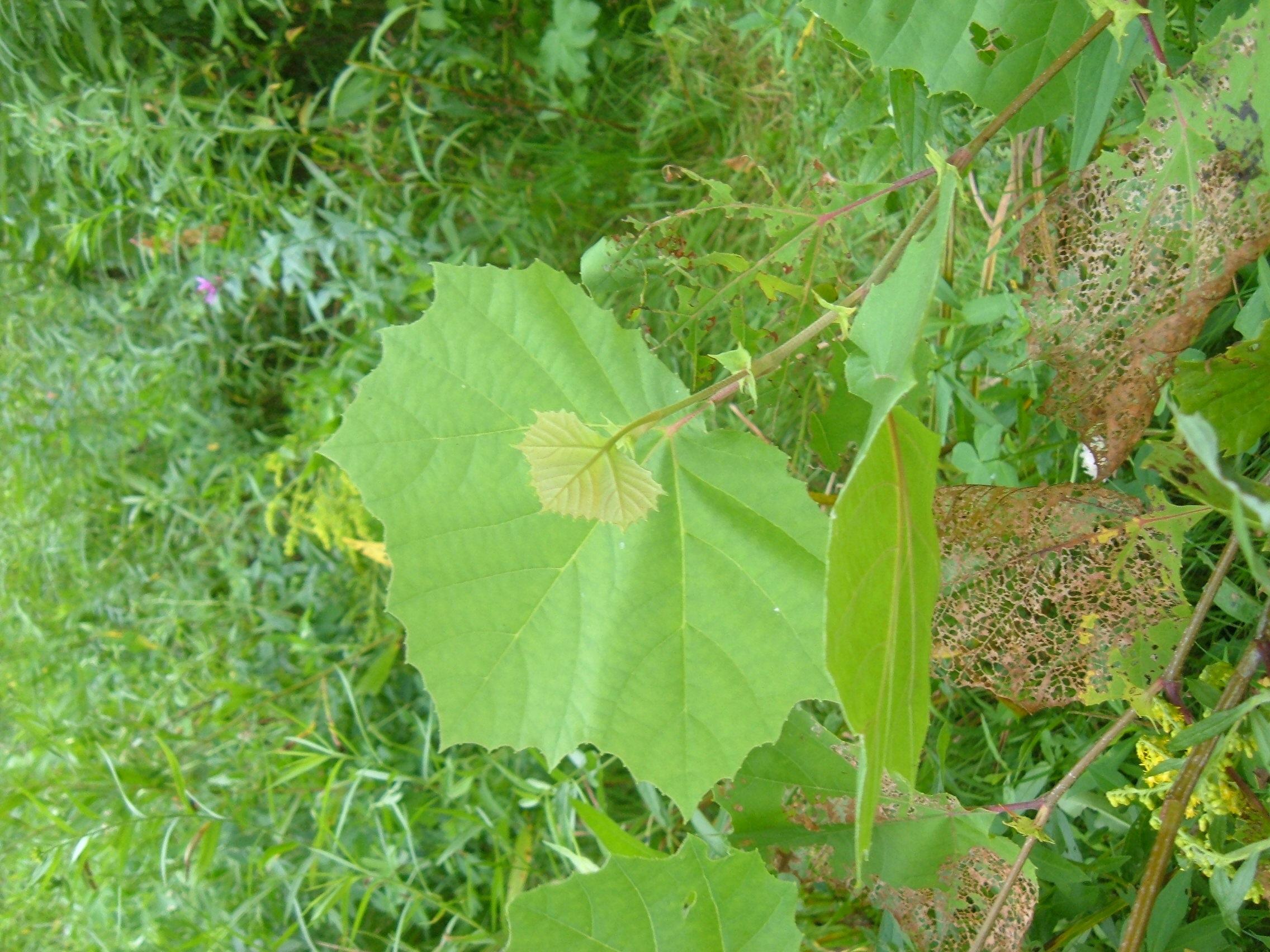 occidentalis leaf displaying 19 images for platanus occidentalis leafPlatanus Occidentalis Leaf