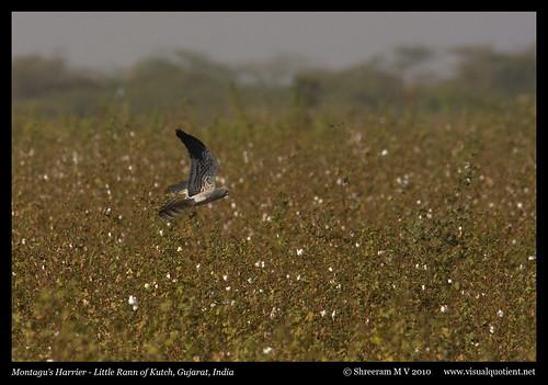 india bird nature birds wildlife aves ave gujarat avifauna montagusharrier circuspygargus 300mmf4is 40d littlerannofkutch accipitridaecanon