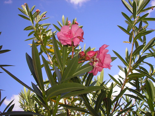 common oleander nerium oleander naturewatch nz. Black Bedroom Furniture Sets. Home Design Ideas