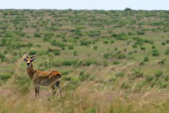 animal, prairie, steppe, antelope, springbok, plain, mammal, grazing, fauna, natural environment, meadow, wilderness, impala, pasture, savanna, grassland, safari, wildlife,