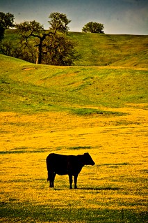 Cow and Flowers on Hwy 58