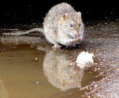 hamster(0.0), muskrat(0.0), animal(1.0), rat(1.0), rodent(1.0), mouse(1.0), fauna(1.0), muroidea(1.0), whiskers(1.0), gerbil(1.0), wildlife(1.0),
