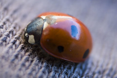 dung beetle(0.0), animal(1.0), ladybird(1.0), invertebrate(1.0), insect(1.0), macro photography(1.0), fauna(1.0), close-up(1.0), beetle(1.0), blue(1.0),