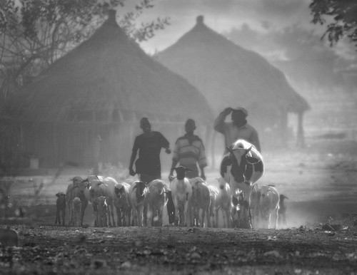 Herding village livestock to pasture at dawn