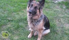 wolfdog(0.0), saarloos wolfdog(0.0), dog breed(1.0), german shepherd dog(1.0), animal(1.0), dog(1.0), pet(1.0), old german shepherd dog(1.0), tervuren(1.0), belgian shepherd(1.0), bohemian shepherd(1.0), east-european shepherd(1.0), shiloh shepherd dog(1.0), carnivoran(1.0),