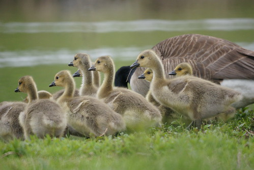 Goslings by thomevered