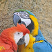 Blue-and-yellow Macaw & Scarlet Macaw by Truus & Zoo