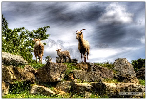 wild canada animals vancouver canon zoo bc britishcolumbia goat 1970 hdr captivity aldergrove greatervancouverzoo stepintothewild hdrcreativeshots hdrspotting claytonperry