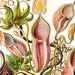 Nepenthaceae, Ernst Haeckel, http://en.wikipedia.org/wiki/Ernst_Haeckel