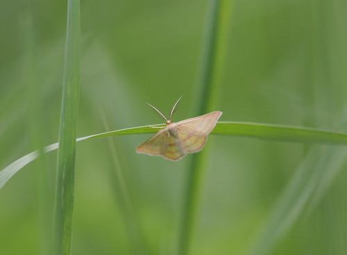 moth iowa redrock marioncounty chickweedgeometer haematopisgrataria