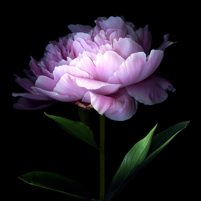 HER MAJESTY... THE PEONY by magda.indigo